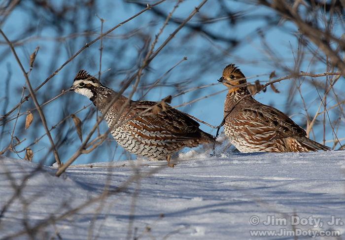 Northern Bobwhites, Southern Iowa. January 29, 2019