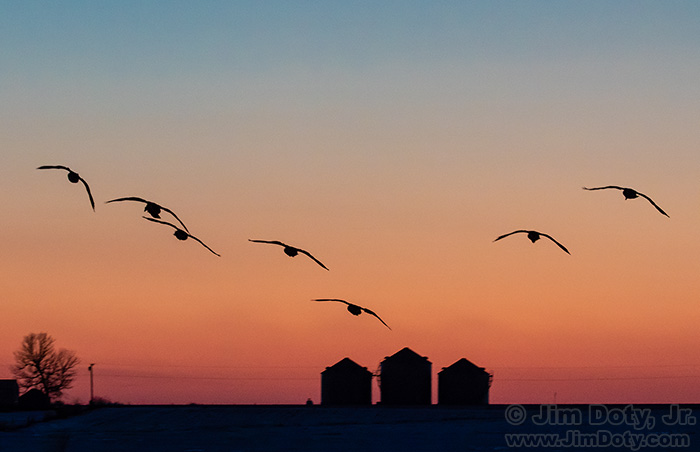 Canada Geese, Southern Iowa. March 5, 2019.