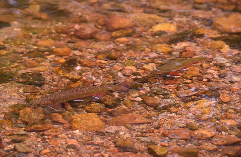 Brook trout by Sue Shuey, taken at the Colorado workshop.