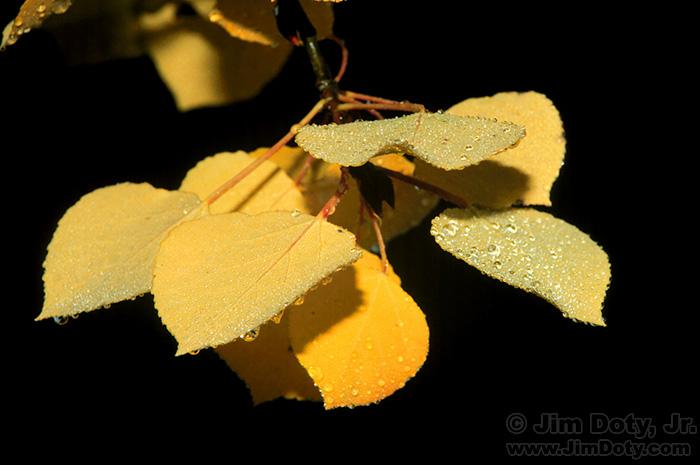 Dew Covered Aspen Leaves Near O'Haver Lake, Colorado.