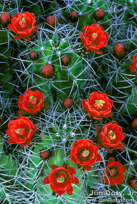 Claret Cup Cactus. White Sands New Mexico.