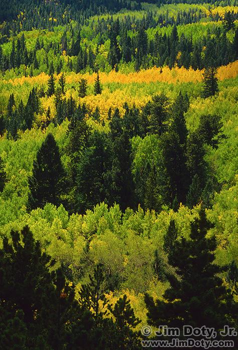 Aspen and Evergreens, Marshall Pass, Colorado. September 25, 1990
