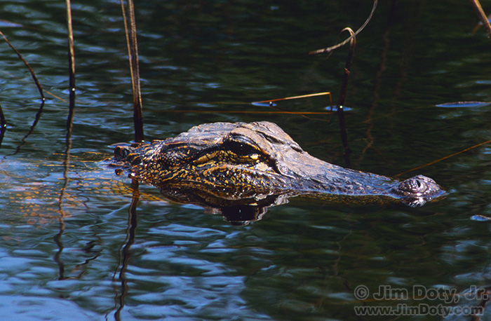 Alligator, Aransas National Wildlife Refuge, Texas.