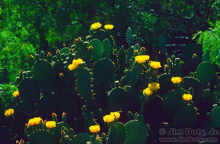 Prickly Pear Cactus, Texas.