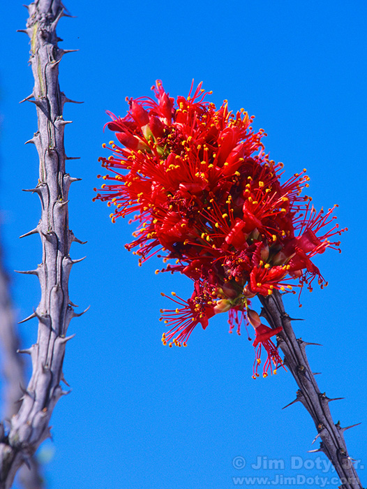 Ocotillo. Big Bend National Park. Texas.