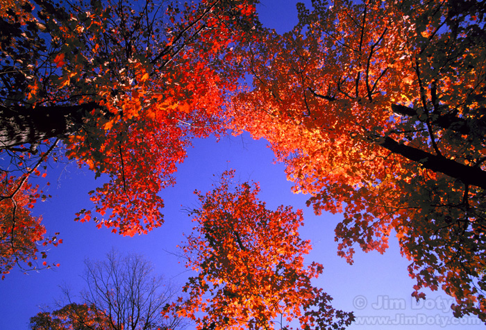 Fall Maple Leaves, Michigan's U.P.
