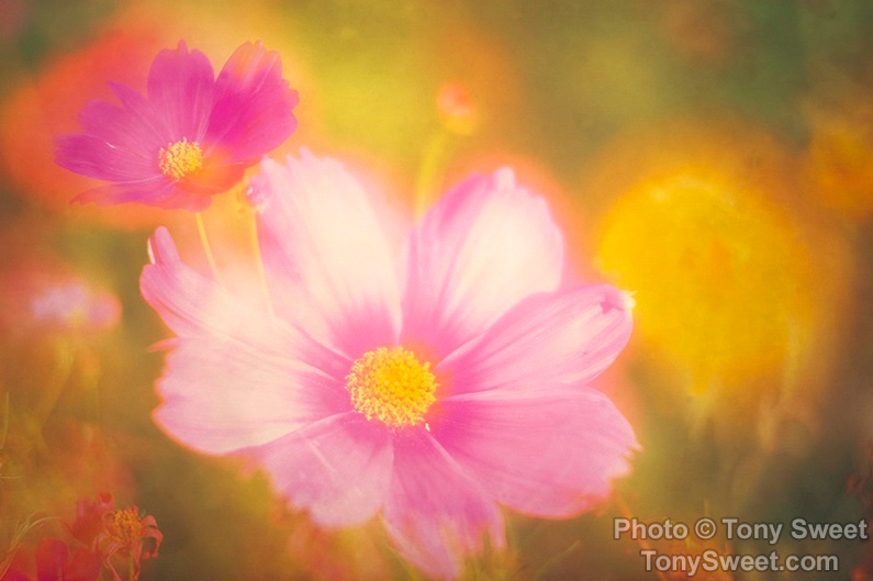 """Pink Cosmos Double"" by Tony Sweet"