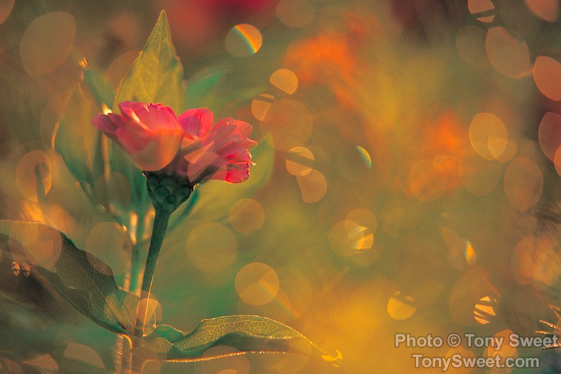 """Flower and Backlit Dew"" by Tony Sweet"